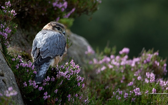 Wallpaper Predator, falcon, flowers, grass, stones