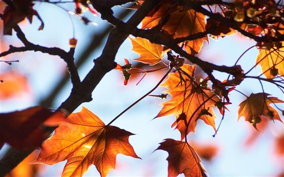 Papéis de Parede Folhas de bordo vermelho, outono, árvore, luz solar