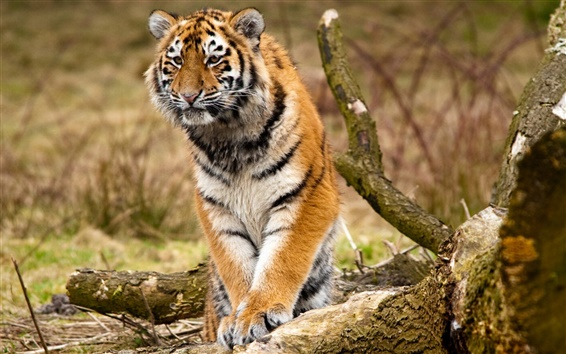 Обои Сибирский тигр, хищники, деревья