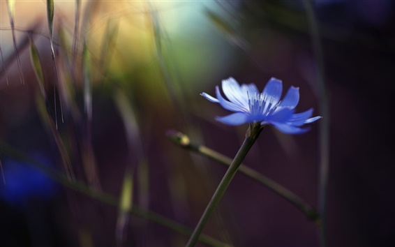 Wallpaper Single flower, blue cornflower, glare, bokeh