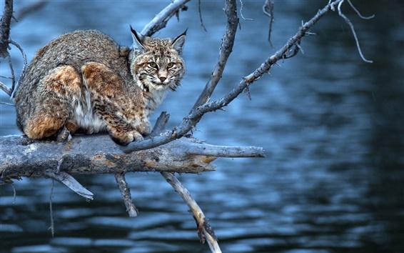 배경 화면 물, 나뭇 가지, 육식 동물, 살쾡이, 모양