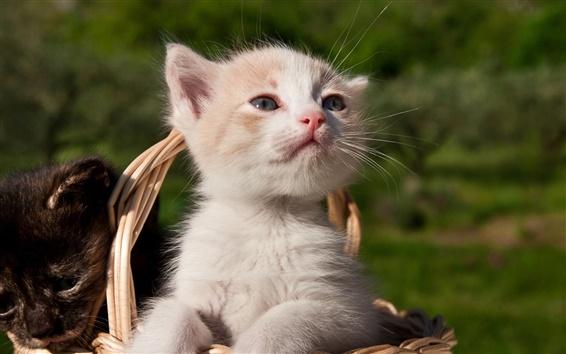 Wallpaper White kitten in the basket