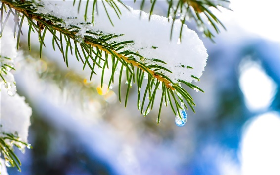 Wallpaper Winter nature, macro, spruce, tree, snow