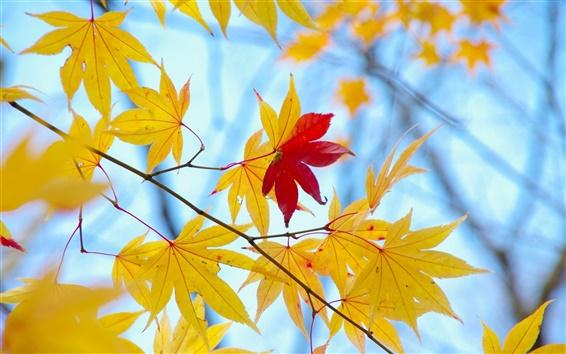 Papéis de Parede Folhas amarelas, apenas um vermelho, outono, fundo azul