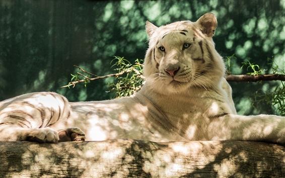 Wallpaper Animals, white tiger