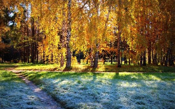 Обои Березовый лес, осень солнце