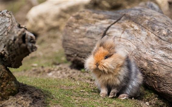 Wallpaper Cute fluffy rabbit