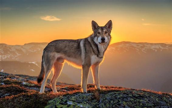 Wallpaper Dog, sunset