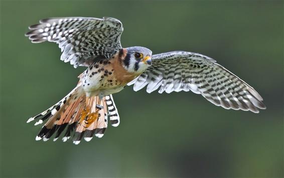 Papéis de Parede Falcon vôo