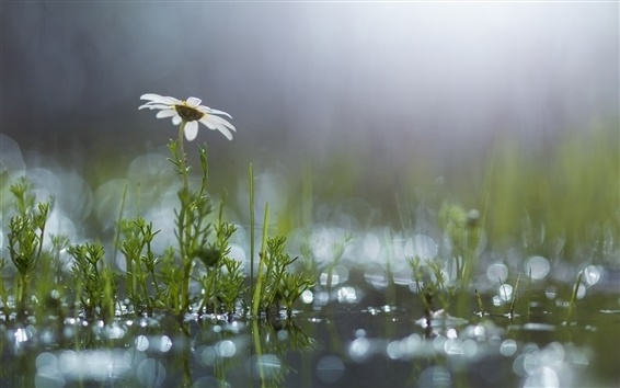 Wallpaper Grass, white flower, daisy, puddle, after the rain