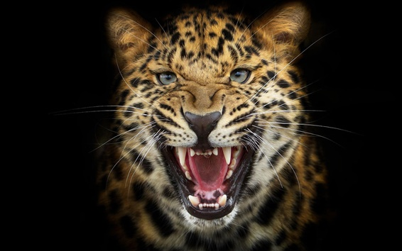 Wallpaper Leopard snarl close-up