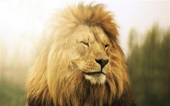 Wallpaper Lion in sun