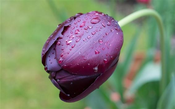 Wallpaper One purple tulip flower macro, water drops