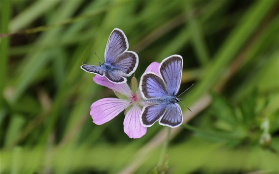 Wallpaper Pink flowers, blue butterfly, bokeh, grass