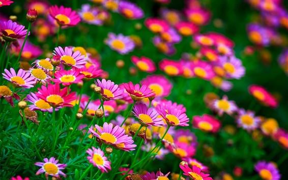 배경 화면 핑크 꽃, 데이지, 여름
