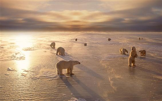 Обои Белые медведи, холод, зима, снег, закат