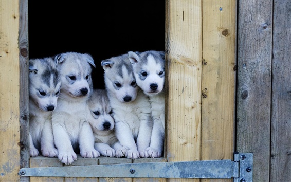 Wallpaper Puppies, husky dogs look out