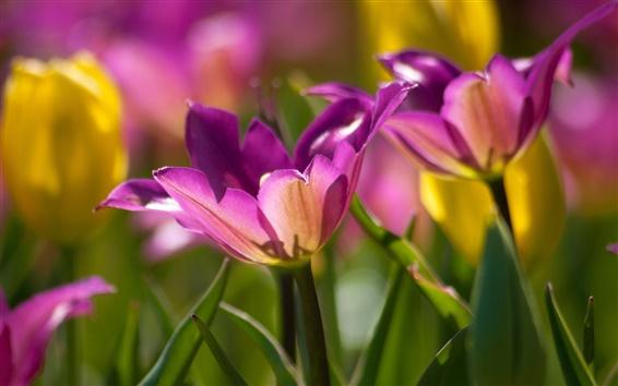 Обои Фиолетовый тюльпаны, лепестки, цветы макро
