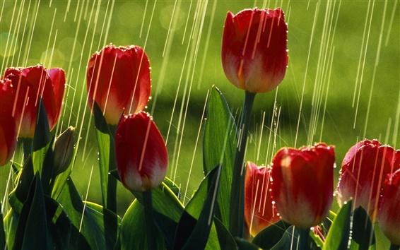 Wallpaper Red tulip flowers, rain, summer, greens