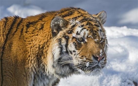 Обои Сибирский тигр, лицо, зима