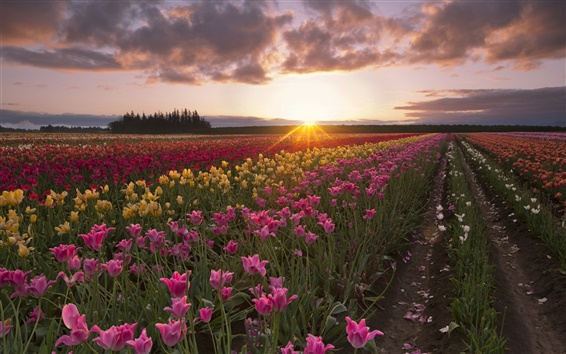 Wallpaper Summer, tulip flowers, fields, sun rays, morning, dawn