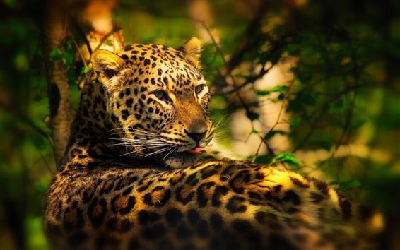Papéis de Parede Árvores, folhas, leopardo escondido na floresta, os raios do sol