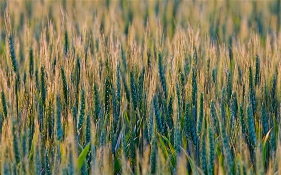 Wallpaper Wheat fields, grass, nature scenery