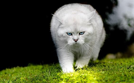 Обои Белый кот, ходьба, трава
