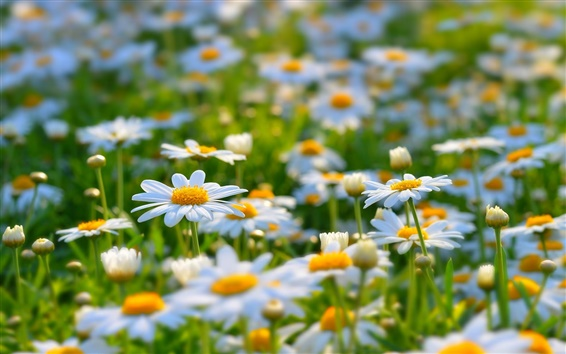 Wallpaper White daisies, meadow, summer, nature, flowers