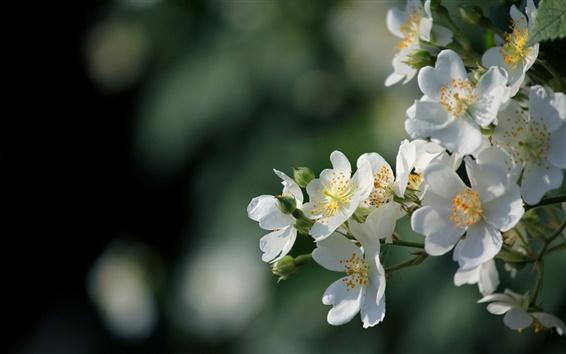 Wallpaper White flowers bloom, spring, glare