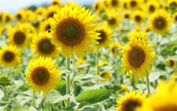 Fond d'écran Tournesols jaunes, la lumière du soleil