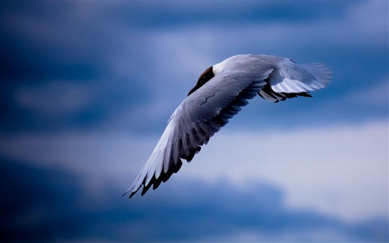 壁紙 鳥、カモメ、飛行、青空