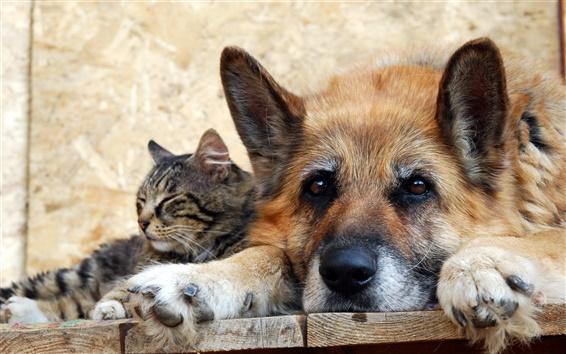 Papéis de Parede Gato com o cão, amizade