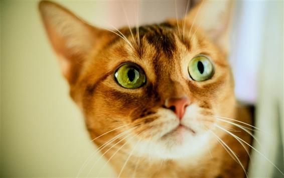 Wallpaper Cute orange cat, face, green eyes