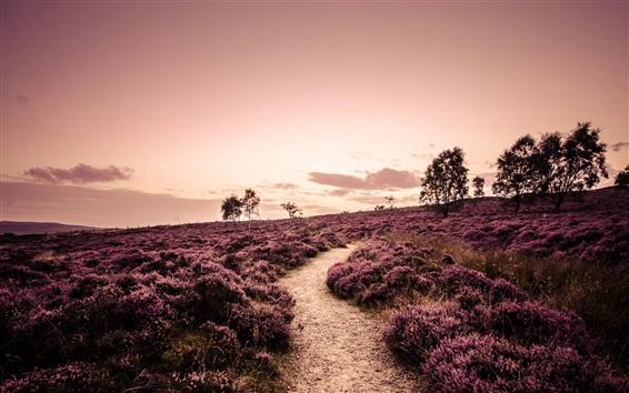 Обои Дербишир, Англия, поля, лаванда, деревья, дорога, вечер