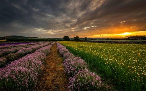 Fond d'écran Angleterre, Royaume-Uni, Hampshire, champs, fleurs, lavande, nuit, coucher de soleil