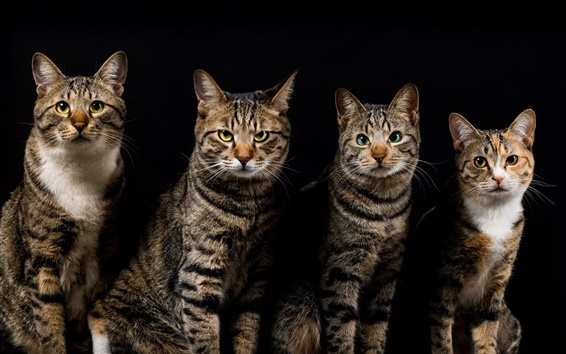 Wallpaper Four cats, gray striped, black background