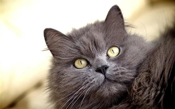 Papéis de Parede Gato cinzento peludo, olhos amarelos