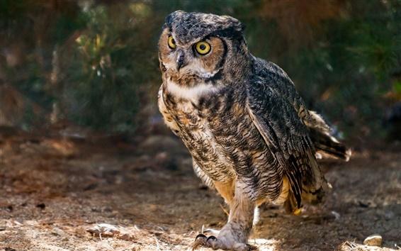 Wallpaper Horned owl, birds