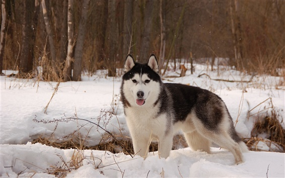 Wallpaper Husky dog, winter, snow