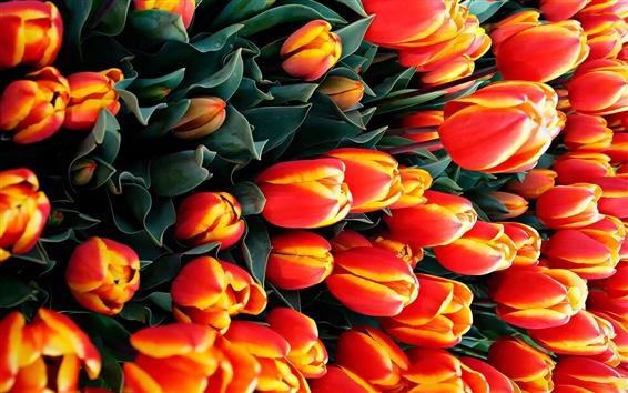 Papéis de Parede Muitas tulipas, flores de laranja