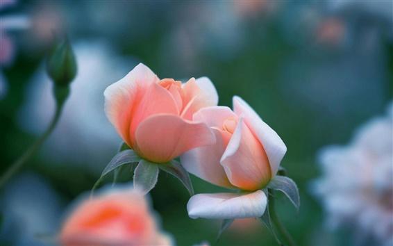 Wallpaper Pink rose flowers, bokeh