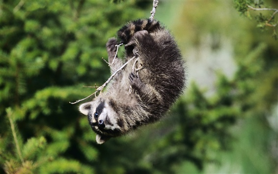 Wallpaper Playful raccoon