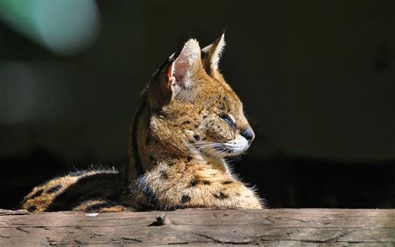 Fond d'écran Predator, le serval, chat sauvage