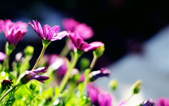 Wallpaper Purple flowers, blur, sun
