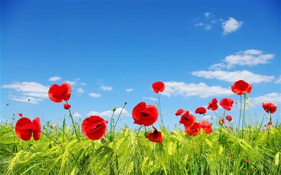 Обои Небо, облака, цветочные поля, луг, красные маки