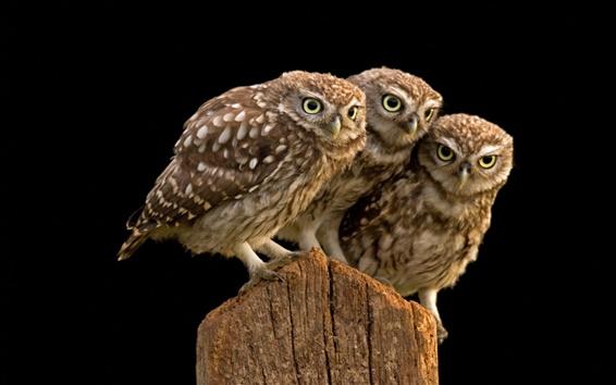 Wallpaper Three owl, tree stump