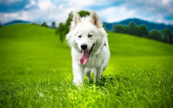Papéis de Parede Cão branco, verão, grama