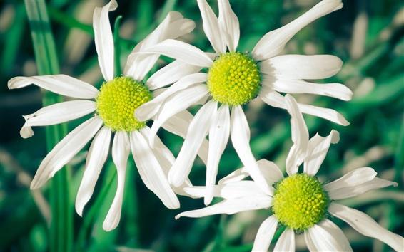 Fond d'écran Fleurs blanches, marguerites, fond vert