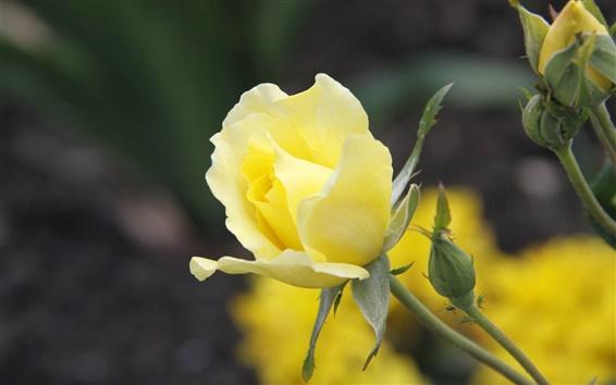 Fond d'écran Jaune, rose, fleur close-up